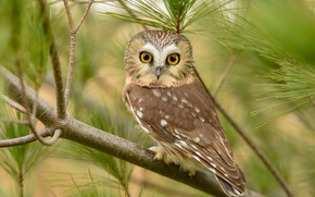 Picture eyes, look, branches, nature, owl, bird, portrait, sitting, needles, green background, bokeh, owl, sychik