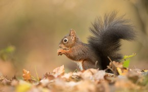 Picture autumn, leaves, background, protein, tail, profile, sitting