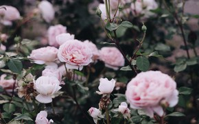 Picture roses, the bushes, by IrinaJoanne