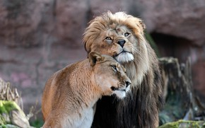 Picture look, love, Leo, pair, weasel, lions, a couple, lioness, Duo, relationship, muzzle, women's happiness would …