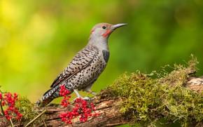 Wallpaper bird, branch, woodpecker