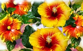 Picture Graphics, Flowers, Hibiskus