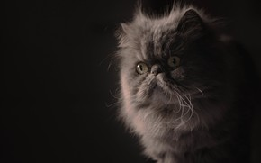 Picture look, portrait, muzzle, fluffy, the dark background, Persian cat