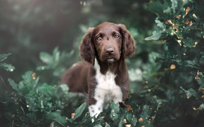 Picture summer, look, leaves, nature, thickets, foliage, portrait, dog, baby, puppy, brown, the bushes, green background, …