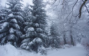 Picture Snow, Forest, Drifts, Gluhozime, Spruce forest