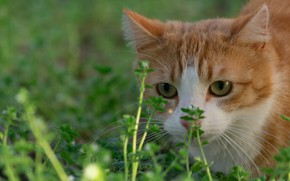 Picture cat, grass, muzzle, red