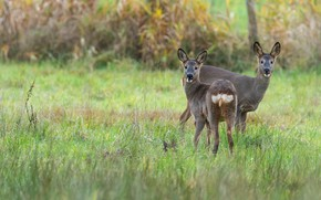 Picture nature, deer, deer