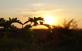 Picture leaves, sunset, nature, plant, silhouette
