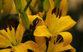 Picture macro, Lily, bouquet, yellow, blurred background