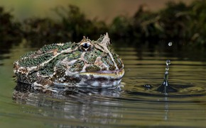 Picture nature, frog, water, pukka