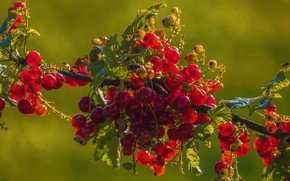 Picture leaves, light, berries, branch, harvest, fruit, red, red, green background, currants, on the branch, berries