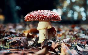 Picture autumn, nature, foliage, mushroom, mushroom, dry leaves