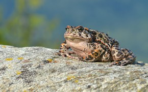 Picture stone, frog, toad, spotted
