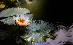 Picture Lake, Leaves, Lily