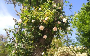 Picture Tree, Tree, White roses, White roses