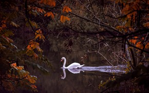 Picture autumn, branches, river, bird, Swan