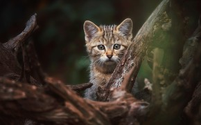 Picture cat, look, face, nature, pose, the dark background, kitty, tree, baby, snag, kitty, bitches, wild, …