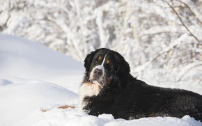 Picture winter, face, snow, branches, dog, the snow, lies, Bernese mountain dog