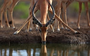 Picture horns, drink, antelope