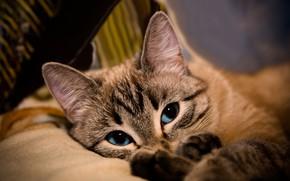Picture cat, cat, look, face, comfort, background, portrait, lies, beauty, blue eyes, friendly, handsome, color-point, Neva …