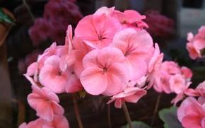 Picture Flowers, pelargonium, Pink flowers, Pink flowers, Pelargonium