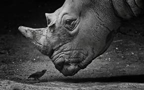 Wallpaper white, black, bird, rhinoceros