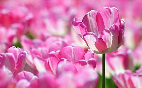 Picture light, flowers, Tulip, spring, tulips, pink, a lot, striped