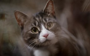 Picture cat, eyes, cat, look, face, grey, background, portrait, cat, blur, striped, bokeh, Mosa, white