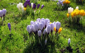 Picture flowers, spring, meadow, crocuses, bushes