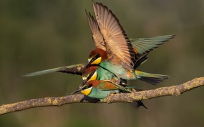 Picture birds, pose, background, bird, branch, three, bright plumage, bee-eaters, European bee-eater, competitors, pairing