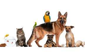 Picture dogs, cat, fish, parrot, Guinea pig, shepherd, ferret