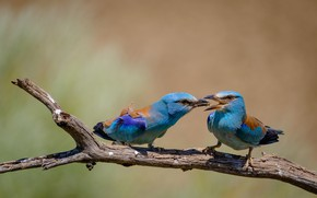 Picture birds, pose, two, branch, blue, a couple, care, food, blue, mining, bright plumage, feeding, two …