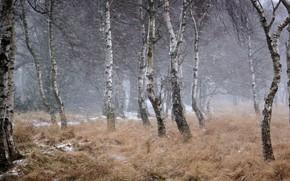 Picture winter, Blizzard, birch