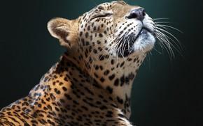 Picture face, background, Jaguar, wild cat