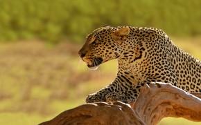 Picture background, predator, leopard, snag, Kenya, dick cat