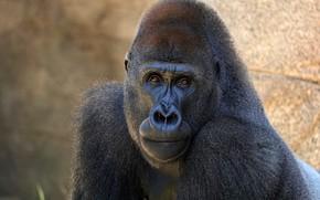 Picture look, face, portrait, monkey, gorilla, black