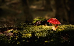 Picture forest, the dark background, mushroom, moss, stump, mushroom, log, mushroom