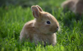 Picture grass, look, hare, portrait, rabbit, baby, red, muzzle, Bunny, cub, rabbit, hare