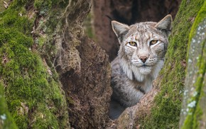 Picture face, tree, lynx, the hollow
