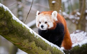Picture winter, look, snow, branches, nature, background, tree, red Panda, face, sneaks, handsome, bokeh, red Panda