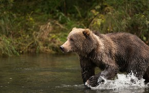 Picture nature, bear, bathing, brown