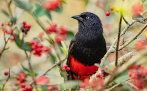 Picture branches, berries, bird, fruit, bright, red-black