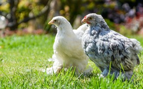 Picture meadow, weed, chicken, chickens