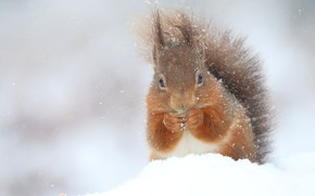 Picture winter, snow, nature, protein, snowfall, coat, rodent