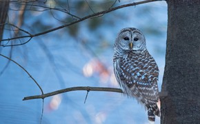 Picture winter, look, branches, tree, owl, bird, blue background, bokeh, owl, motley, sitting on a branch