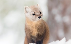 Picture winter, look, snow, tree, portrait, muzzle, sitting, the snow, bokeh, marten