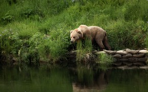 Picture grass, nature, pose, river, shore, bear, pond, bags, brown