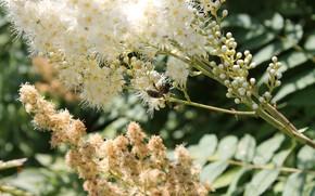 Picture white, bee, a Fieldfare