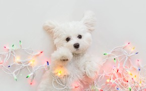 Picture look, pose, dog, lights, Christmas, puppy, white background, New year, lies, white, garland, face, light …