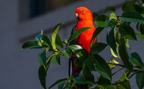 Picture leaves, bird, branch, parrot, Royal parrot